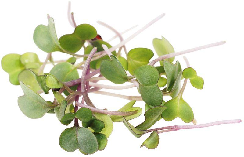микрозелень кольраби