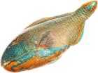 Рыба-попугай свежемороженая ~1,5кг