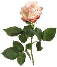Роза Палома 1шт