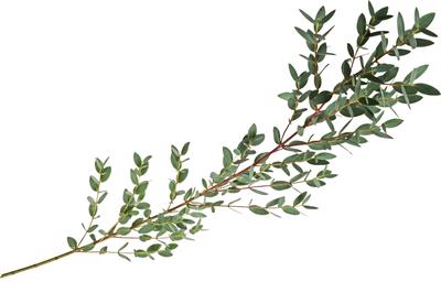 Листья Эвкалипта для букетов 1шт