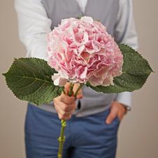 Гортензия розовая 1шт