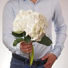 Гортензия белая Шнибол 30см 1шт