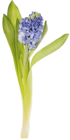 Гиацинт синий Дельфт Блю ~25см 1шт