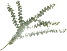 Листья Эвкалипта Бейби Блю для букетов ~60см 1шт