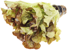 Салат латук Дуболист красный в горшочке 1шт