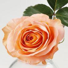 Роза Корал Риф 1шт