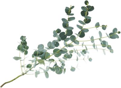 Листья Эвкалипта Гунни для букетов 1шт