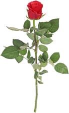 Роза Такацци ароматная ~50см 1шт