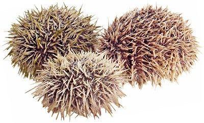 Еж морской живой ~  0,5кг