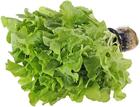 Салат латук Дуболист зеленый в горшочке 1шт