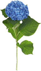 Гортензия синяя 1шт