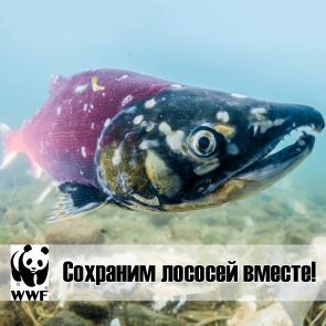 Сохраним лососей ВМЕСТЕ!