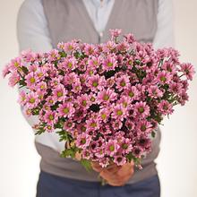 Хризантема розовая Сантини Крисси 55см 1шт