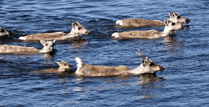 Спасем диких северных оленей России